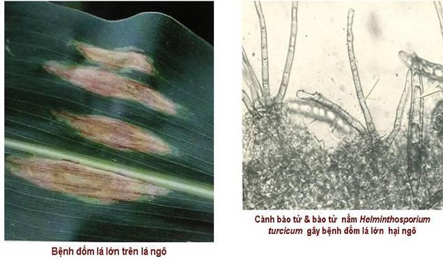 helminthosporium turcicum pass
